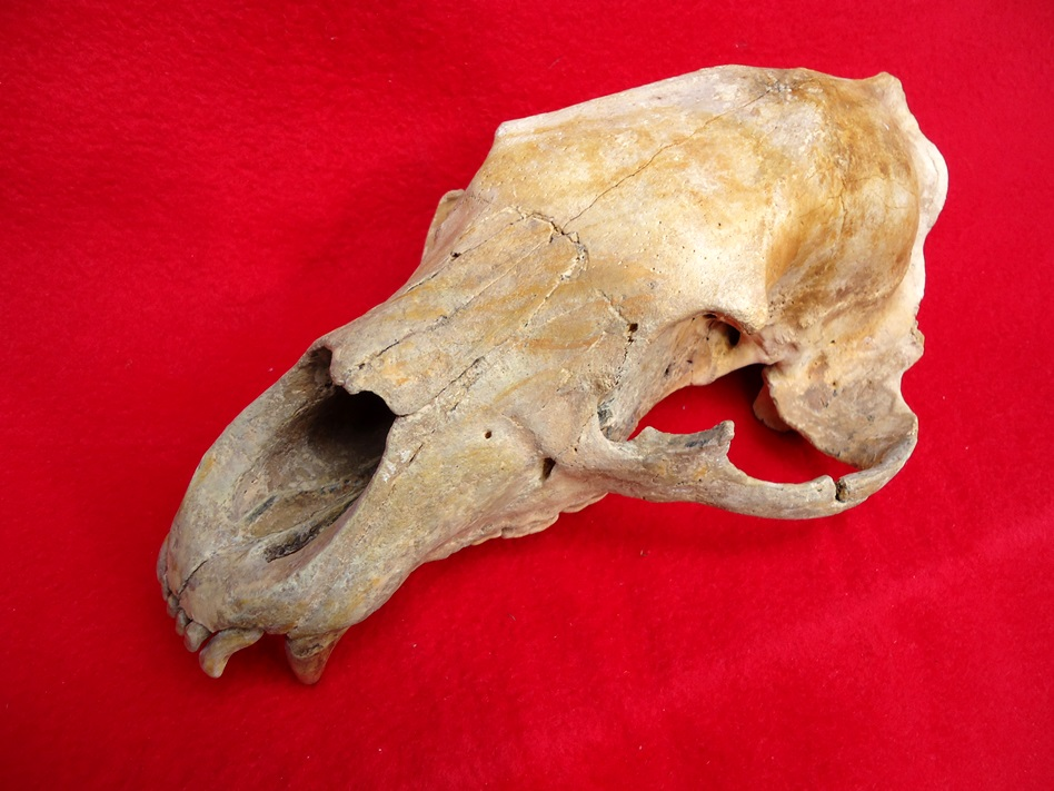 Beyond Rare Fossil Black Bear Skull